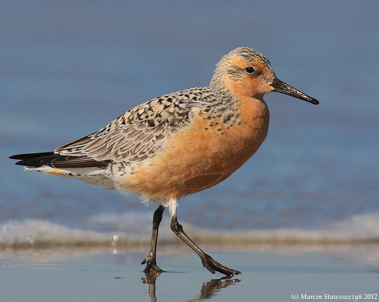 Walking red knot
