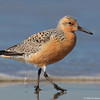Red knot and the wave