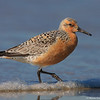 Red knot by the shore