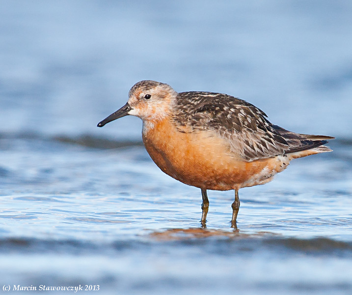 Evening red knot