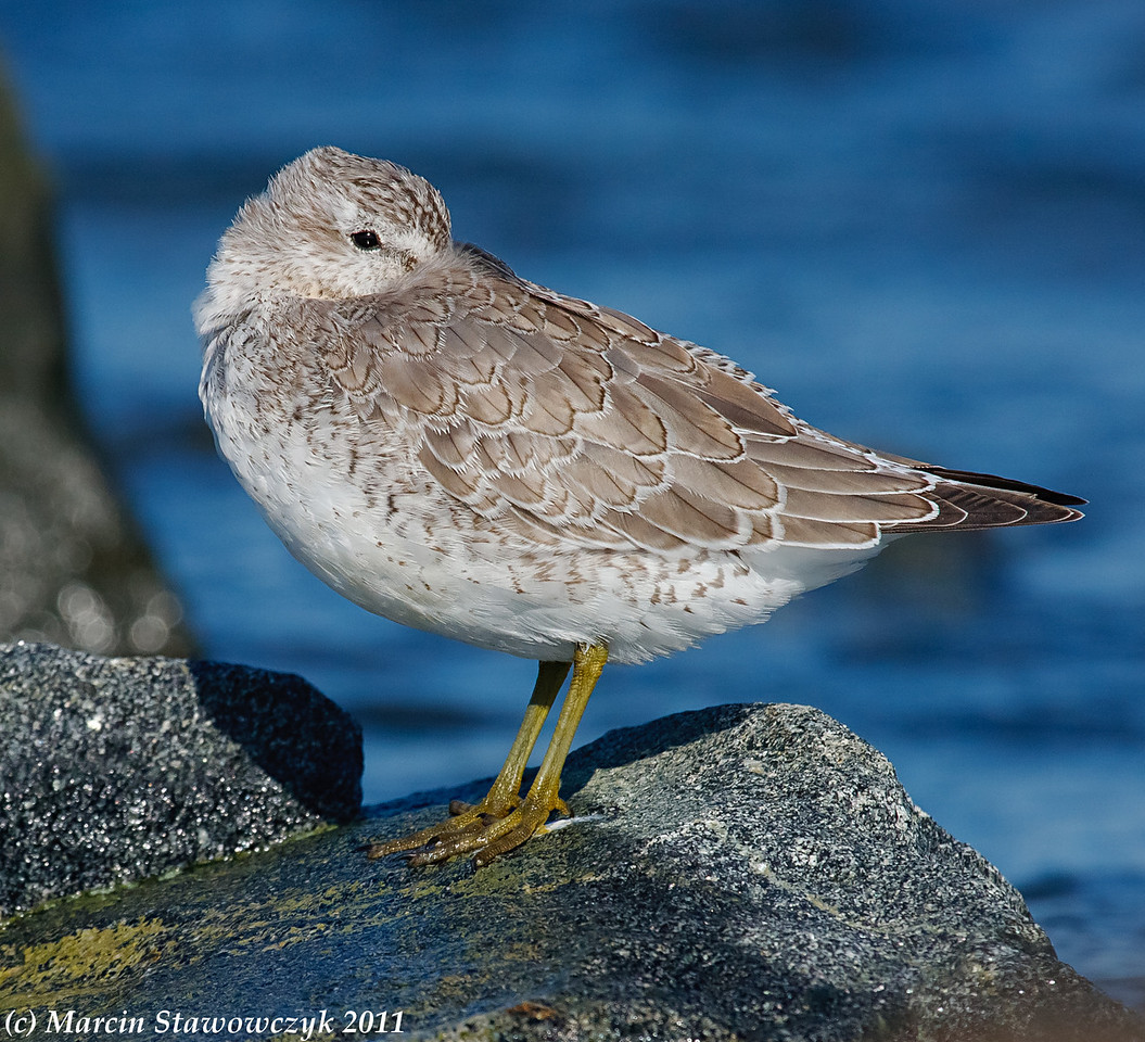 Red knot at sleep