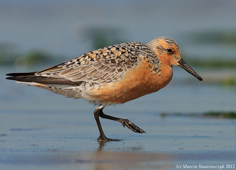 Red knot on the run