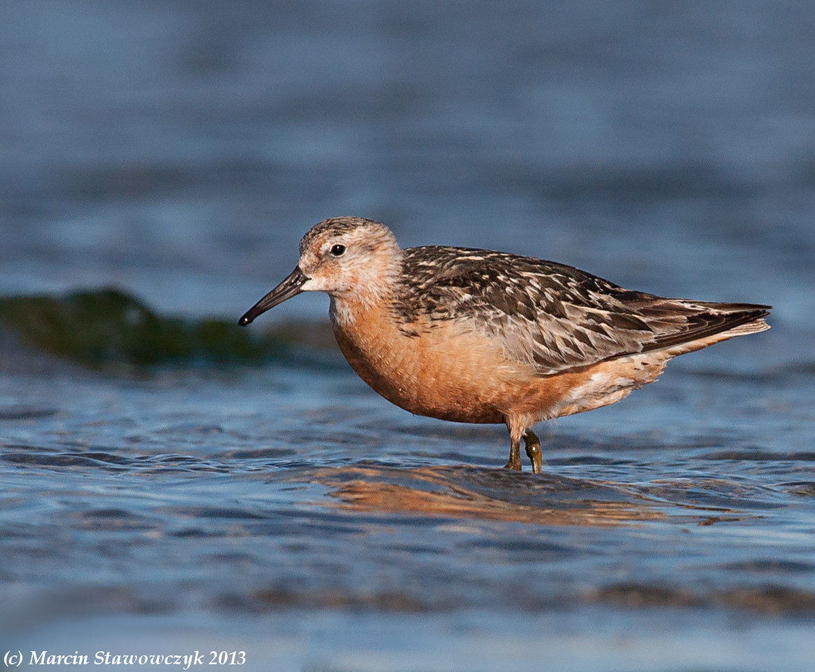 Red knot in the water