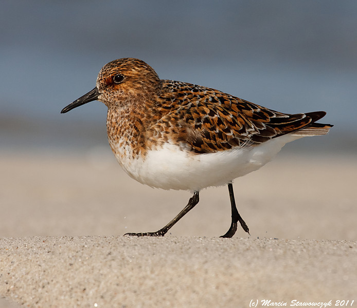 A profile of sanderling in its breeding plumage