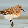 Sanderling at seashore