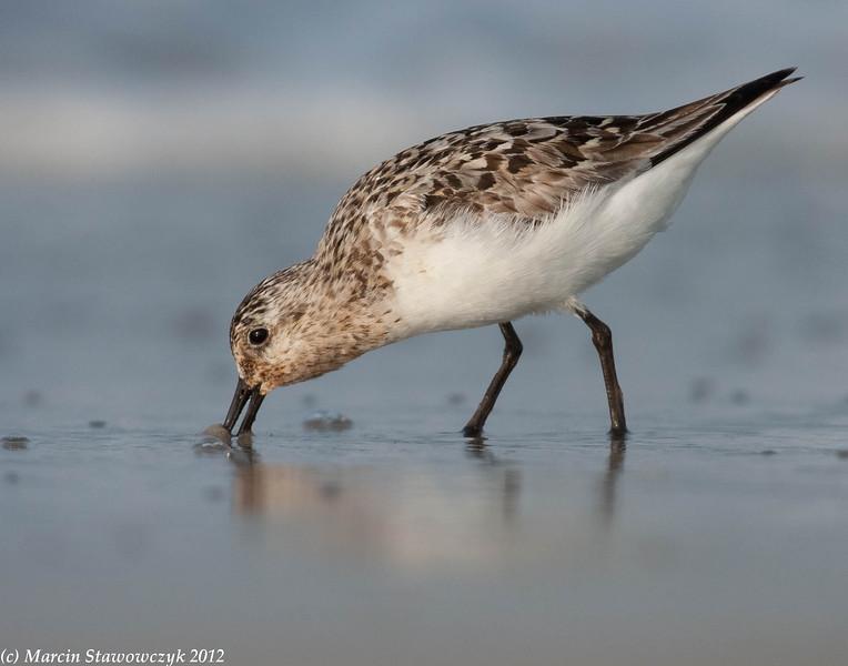 Digging sanderling