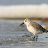 Winter sanderling