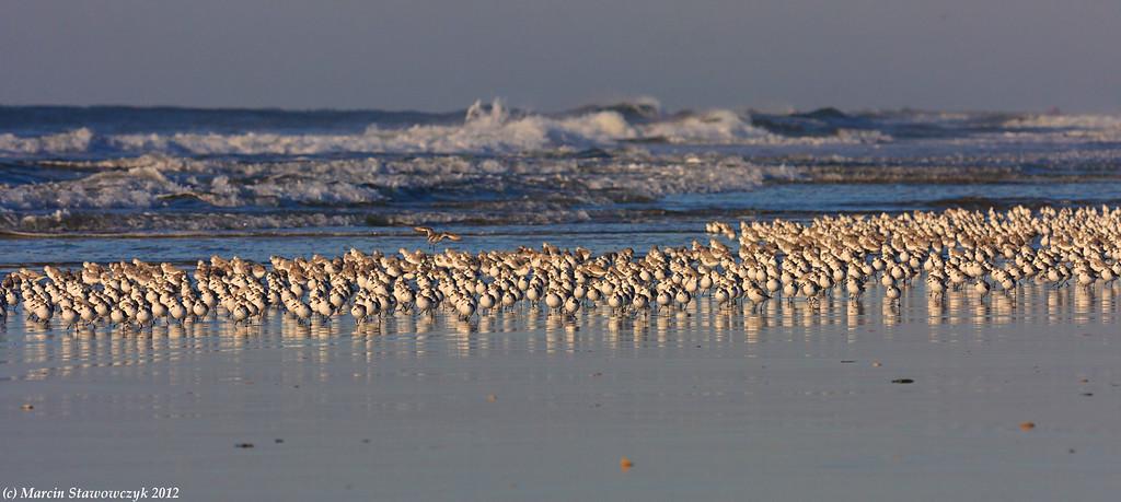 Sanderlings at seashore