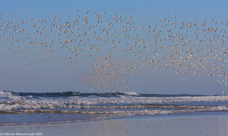 Cloud of sanderlings