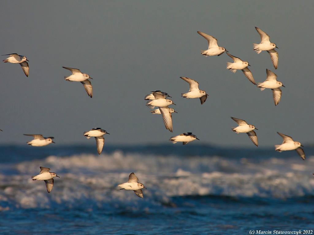 The arrival of sanderlings