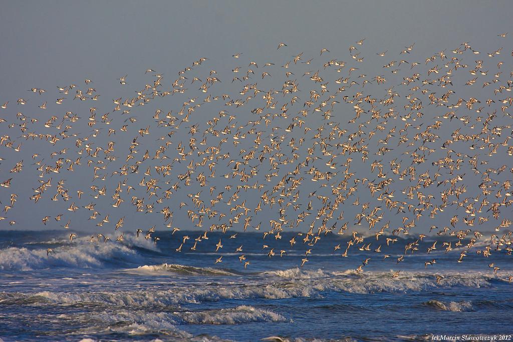 Traveling sanderlings