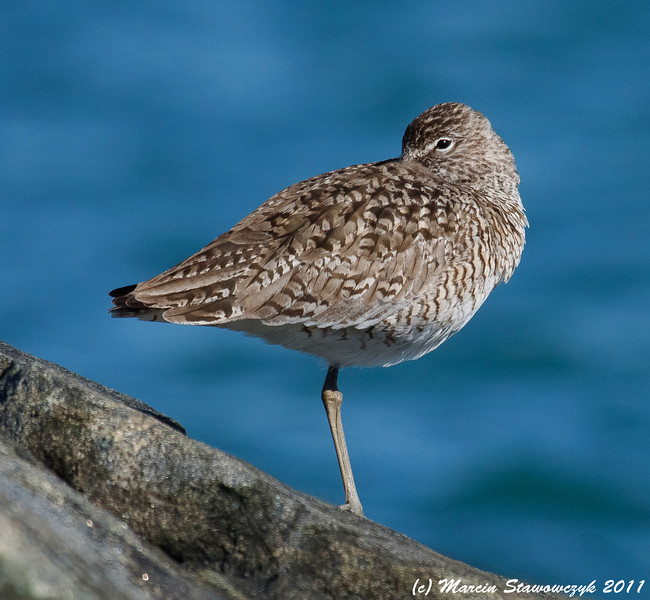 Willet on the rocks