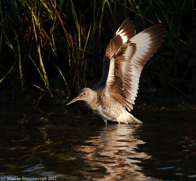Wings of willet