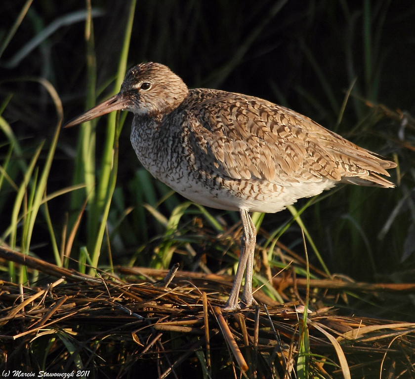 Morning willet