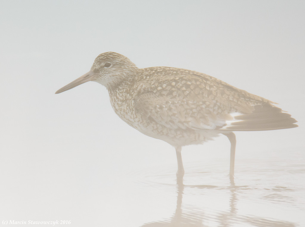 Willet in the fog