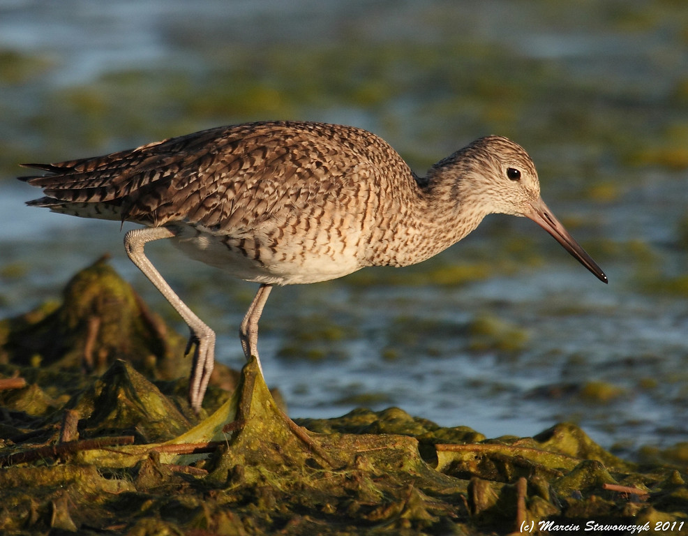Willet in the morning light