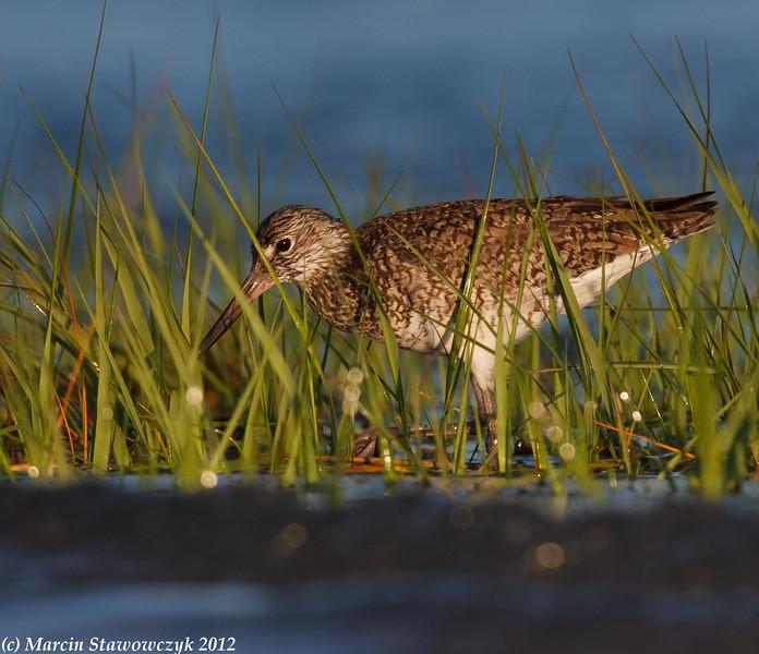 Willetr in an eel grass