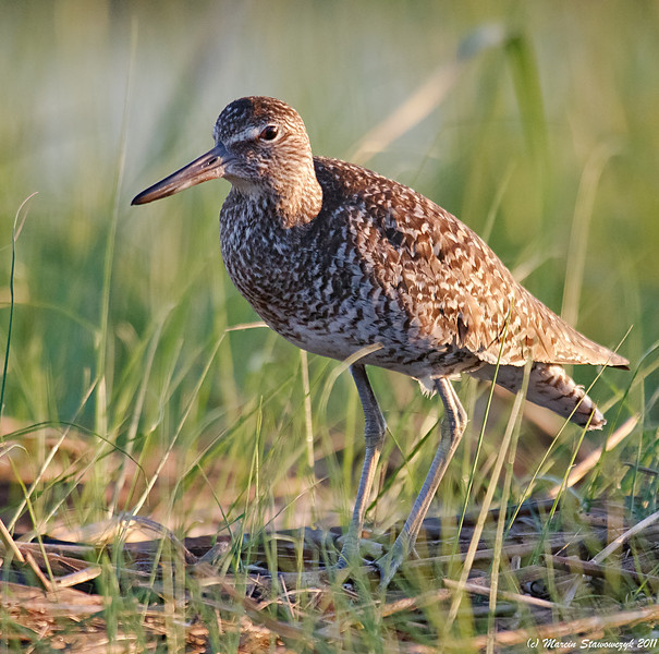 Willet in the grass