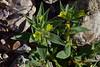 Lesser Mojavea (Mojavea breviflora)