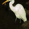Whute Egret with Crayfish