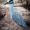 Yellow-crowned Night Heron, 2012