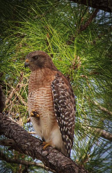 Red-shouldered Hawk, 2012