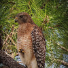 Red-shouldered Hawk, 2012