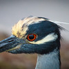 Yellow-crowned Night heron Portrait, 2012
