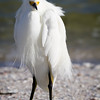 Snowy Egret, 2012
