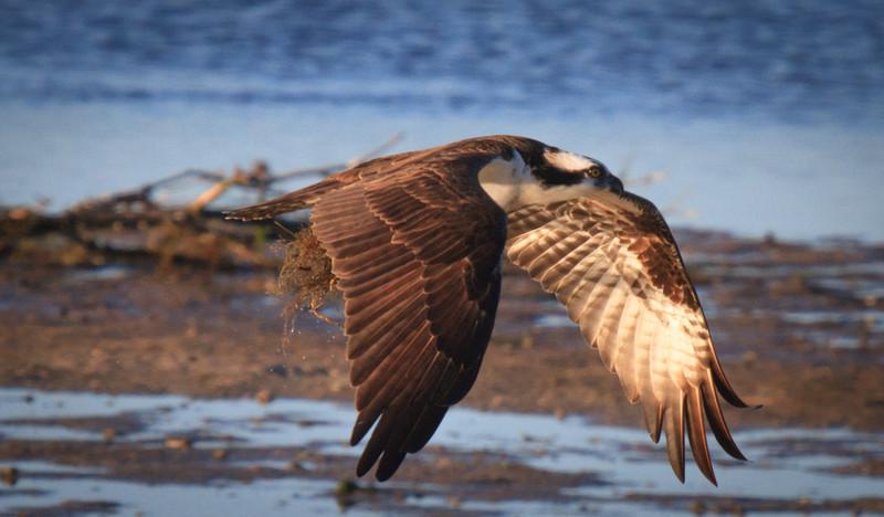 Osprey and Nesting 2,2012
