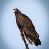 Turkey Vulture, 2012