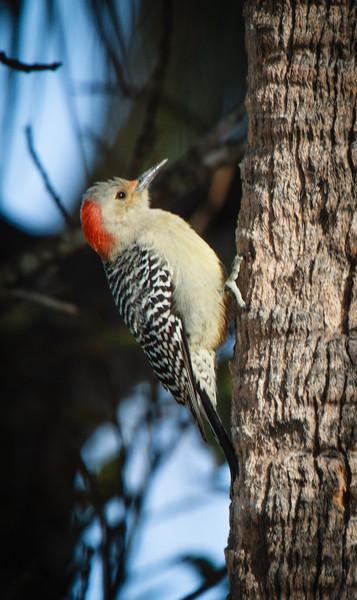 Red-bellied Woodpecker, 2012