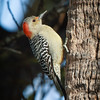 Red-bellied Woodpecker, 2012