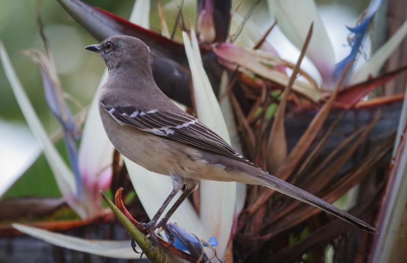 Northern Mockingbird, 2012