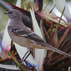 Northern Mockingbird, 2012