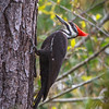 Piliated Woodpecker, 2012