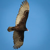 Turkey Vulture in flight, 2012