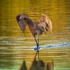 Reddish Egret, 2012
