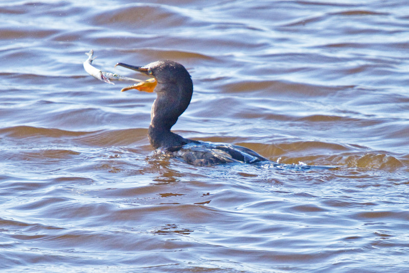 cormorant and Needlefish Duel