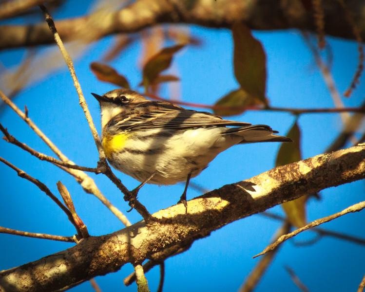 Warbler, 2012