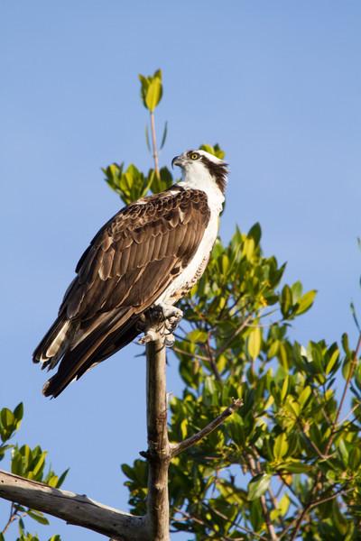 Osprey, 2012