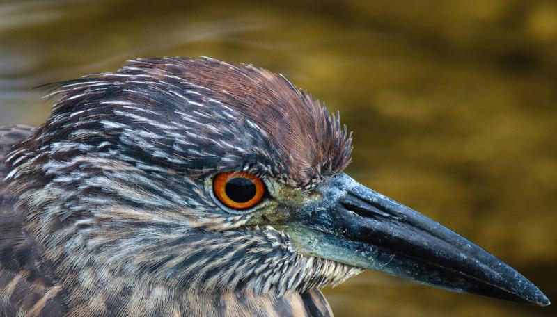 Juvenile Night Heron portrait, 2012