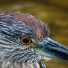 Juvenile Night Heron portrait, 2012