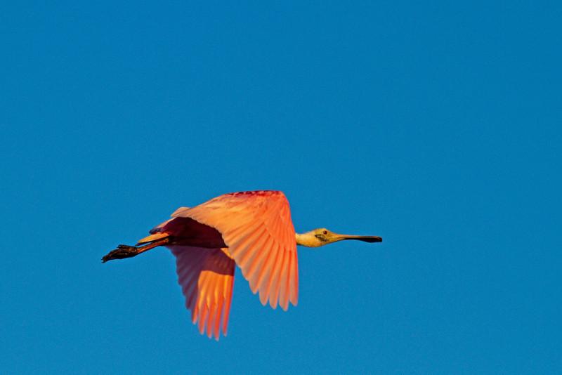 Roseate in flight