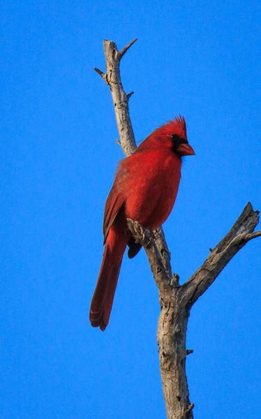 Northern Cardinal, 2012