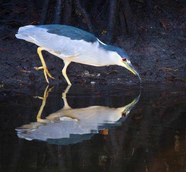 Black-crowned Night Heron, 2012