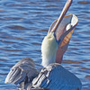 Pelican with Snack