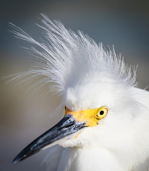 Snowy Egret Portrait, 2012