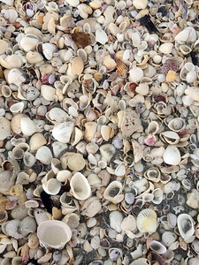 Now on Sanibel. Shells, shells, shells.