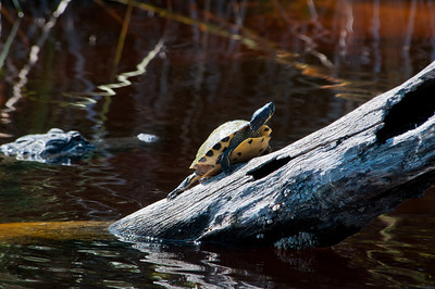 Chicken Turtle with alligator looking for lunch